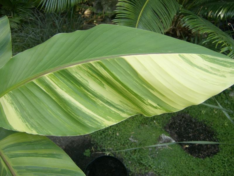 Musa basjoo variegata : le st Graal enfin trouvé  Images16
