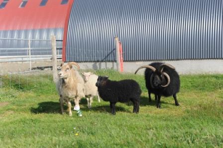 Islandais Famill10