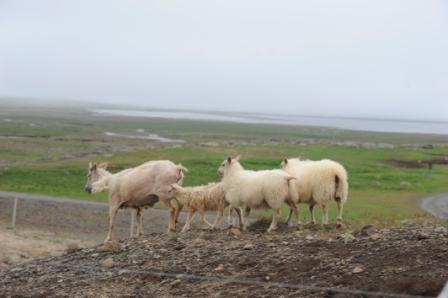 Islandais Triple10