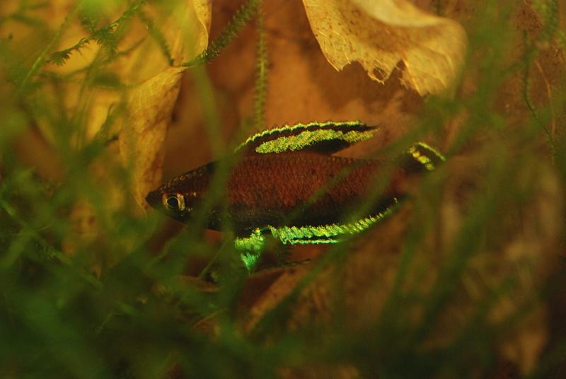 Parosphromenus nagyi Pekan Nenasi Dsc_4115