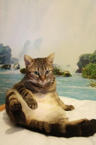 Boulette, jolie tigrée, environ deux ans, FA à ROUBAIX Img_2412