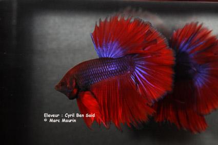 Mâle Copper SD VL x Femelle Bleue electrique SD  Cyril_11