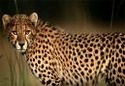 The Animal Cheeta11