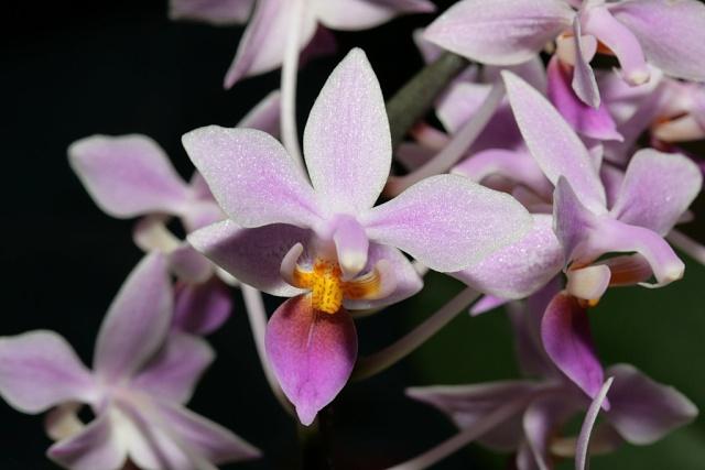 Paphiopedilum botaniques Img_6115