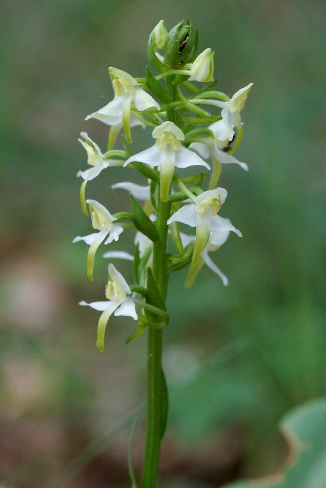 Orchidées sauvages (Fil ouvert) Caphal11