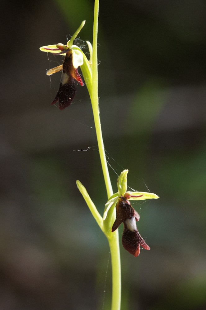 Orchidées sauvages (Fil ouvert) Ophrys11