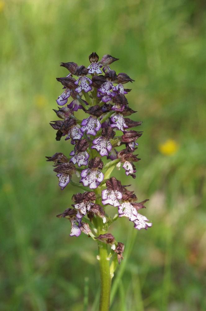 Orchidées sauvages (Fil ouvert) Orchis10