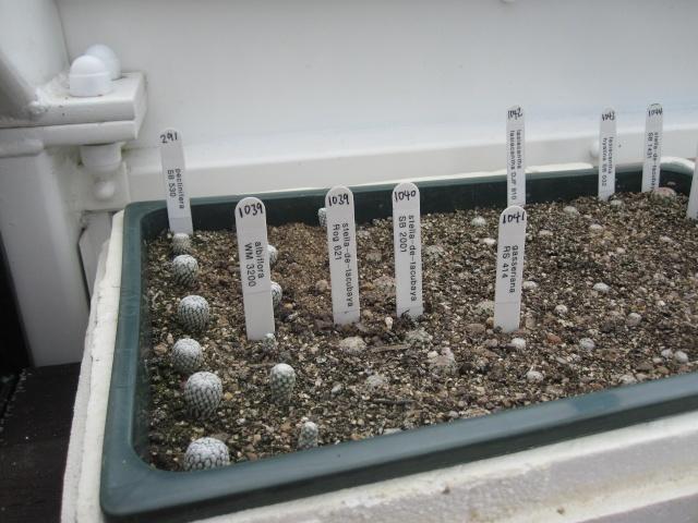 Growing M.laisacantha 210