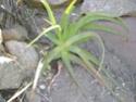 Aloé à reconnaitre 10 - Aloé aborescens 'Inermis' Rodrig11