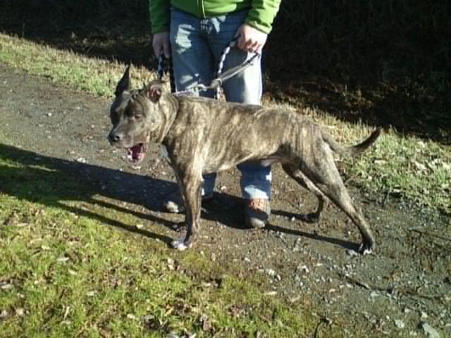 Valik, American Staffordshire Terrier de 7 ans - (35) 1_110