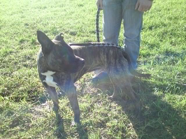 Valik, American Staffordshire Terrier de 7 ans - (35) 510