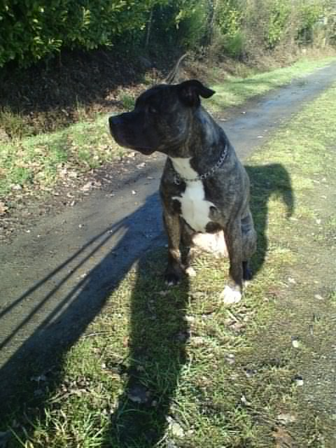 Valik, American Staffordshire Terrier de 7 ans - (35) 810
