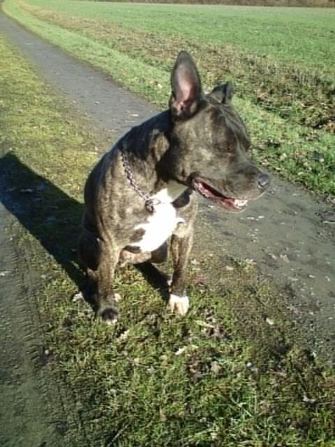 Valik, American Staffordshire Terrier de 7 ans - (35) 910