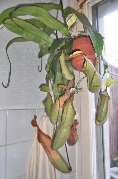 Nouvel hybride de nepenthes en jardinerie (N. Louisa) N_loui12