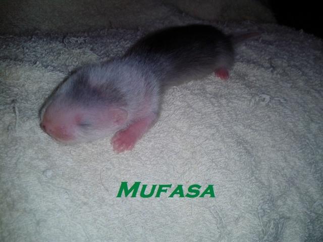 Igor, Ibanez, Crevvette and Cooki - Page 2 Mufasa11