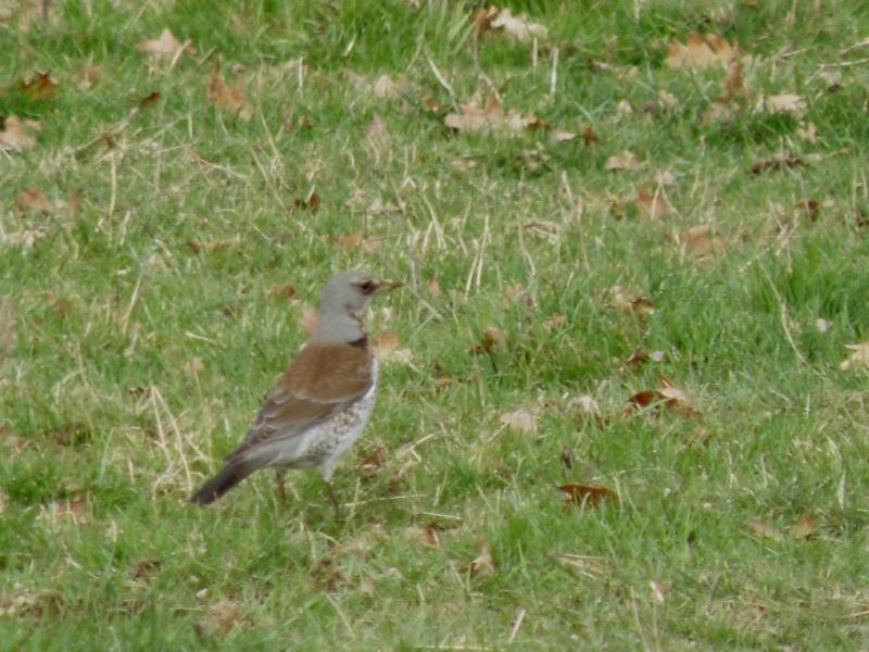 Rares oiseaux stationnant en hiver (Mayenne Janvier 2010) Legran16