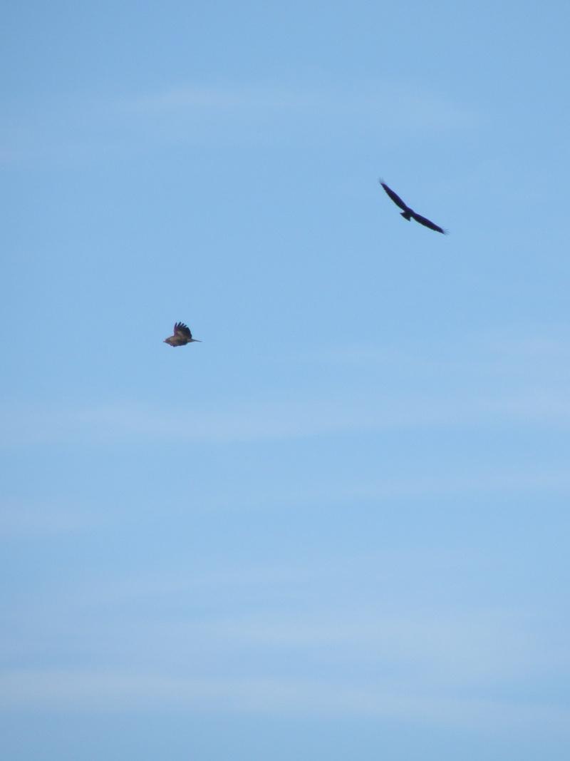 Rares oiseaux stationnant en hiver (Mayenne Janvier 2010) Legran17