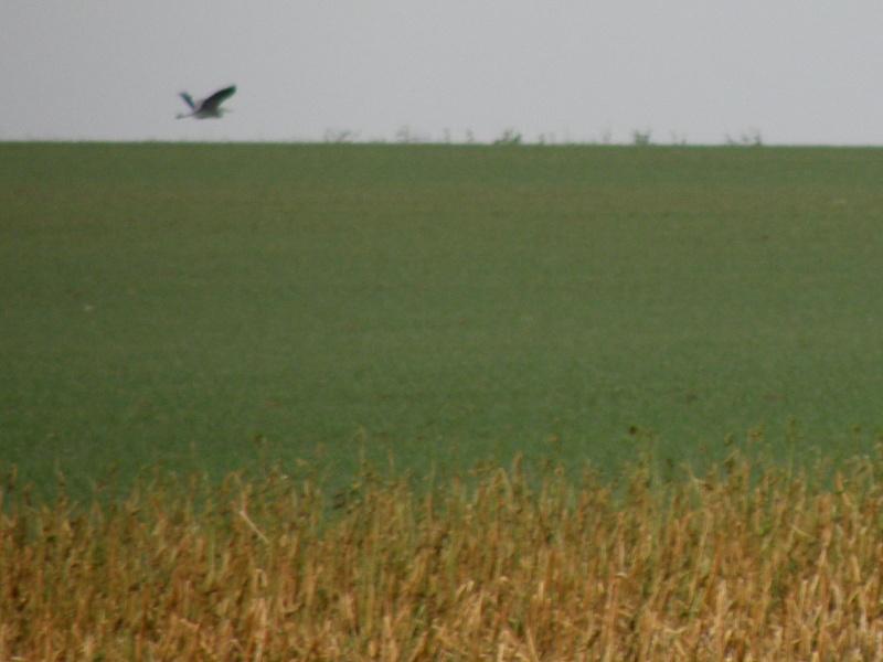 Rares oiseaux stationnant en hiver (Mayenne Janvier 2010) Legran18