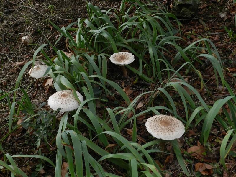 En Ardèche aussi les chevreuils nous rendent visite Marcla11
