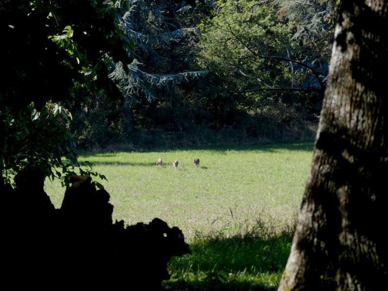 En Ardèche aussi les chevreuils nous rendent visite Marcla14