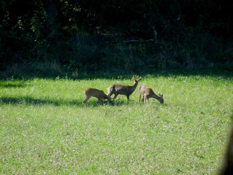En Ardèche aussi les chevreuils nous rendent visite Marcla15