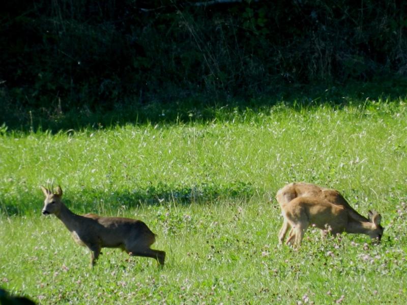 En Ardèche aussi les chevreuils nous rendent visite Marcla16
