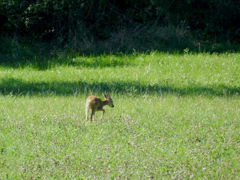 En Ardèche aussi les chevreuils nous rendent visite Marcla17