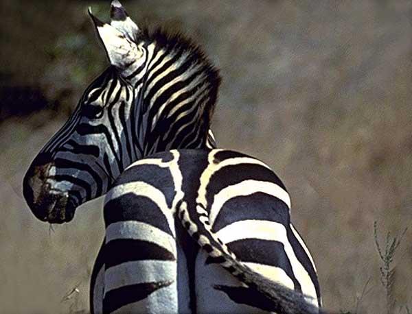 rayures de zèbre Zebre_10