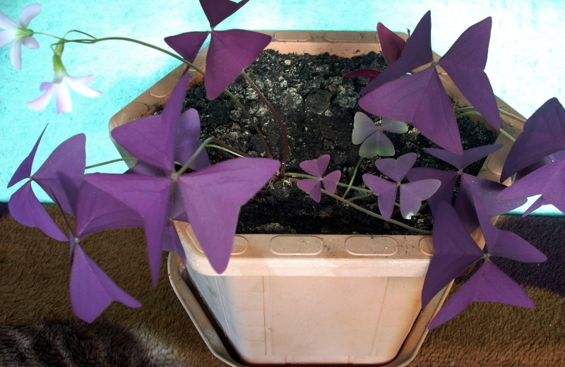 Flori de apartament-Îngrijire,înmulţire şi exponate Trifoi11