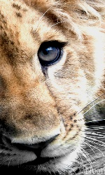 """Avatar """"Lions"""" en Libre-Service Sans_t43"""
