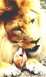 """Avatar """"Lions"""" en Libre-Service Sans_t49"""