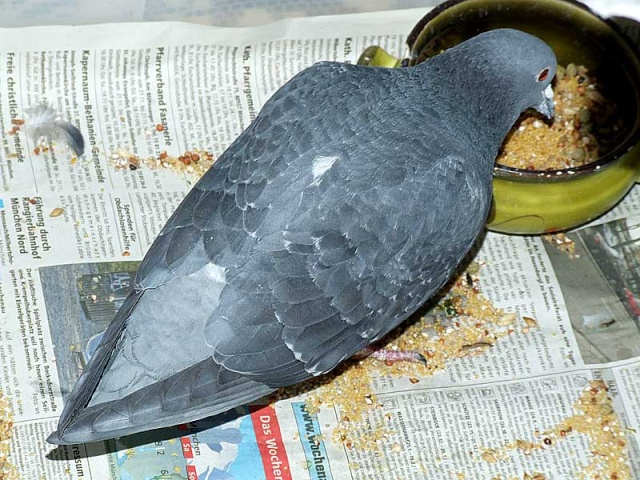 A pigeon without tail??? 1209x010