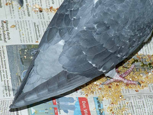 A pigeon without tail??? 1209x011