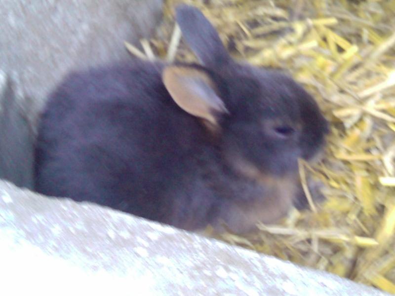 lapin feu noir et feu bleu 2010-010