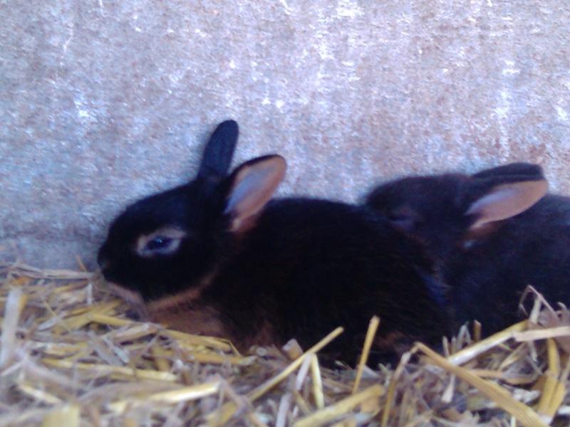 lapin feu noir et feu bleu 2010-011