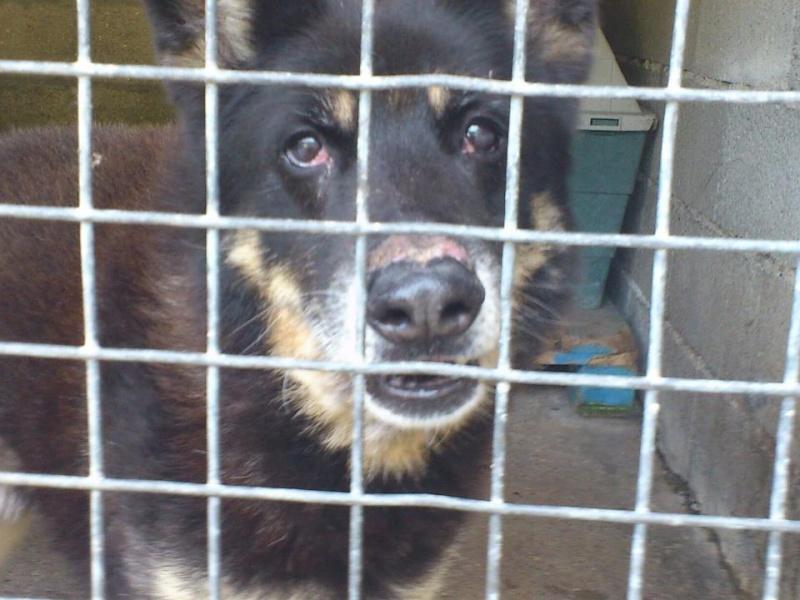 TAO croisé berger husky de 12 ans pas d'enfants, animaux), du refuge - EURE 27 DECEDE  Tao210