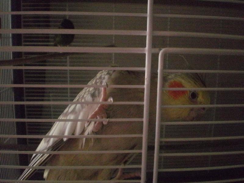 mes oiseaux exotique  P5180010