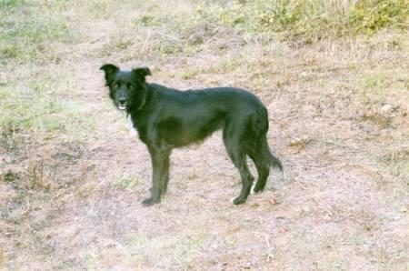 Perdu/volée chienne type Border collie 112