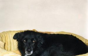 Perdu/volée chienne type Border collie Img05110