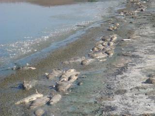 الثورة السمكية في سد بوقارة Dsc00213