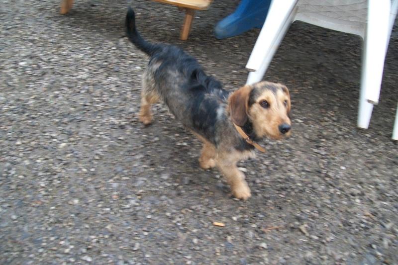 ELVIS, croisé beagle/teckel, 1 an (72) Ma_mai12