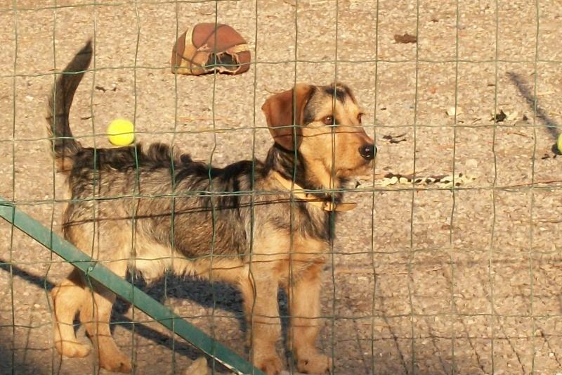 ELVIS, croisé beagle/teckel, 1 an (72) Mes_za17