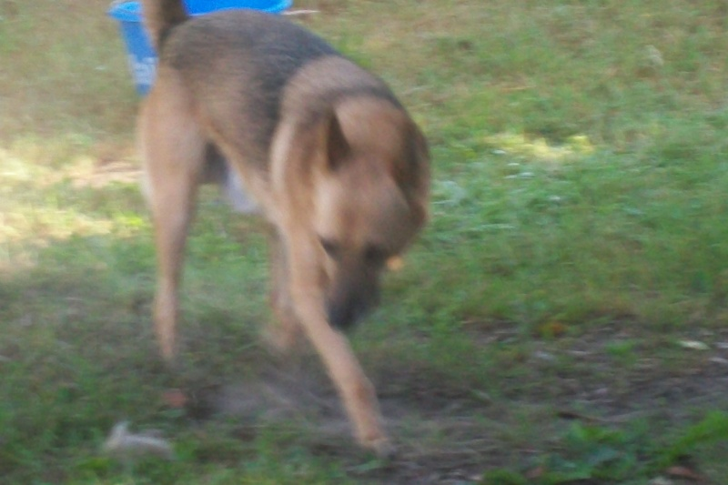 VOLCAN BAx BBMalinois de 8ans - en pension (72) Teddy_25