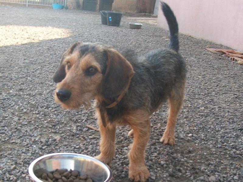 ELVIS, croisé beagle/teckel, 1 an (72) Toutou13