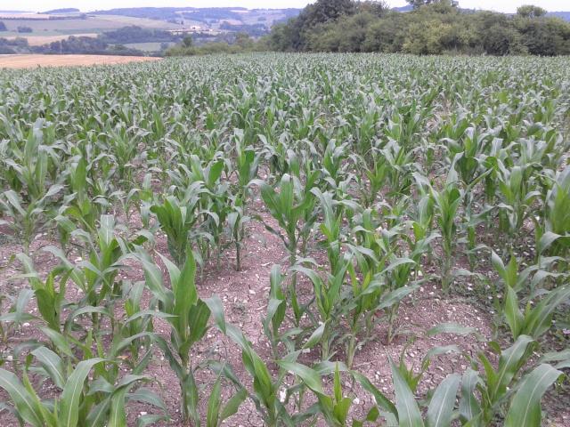 semis de maïs 2013  2013-013