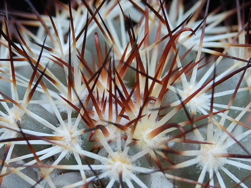 Mammillaria schumannii 1612-212