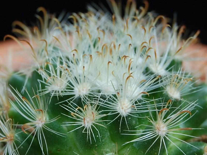 Mammillaria tepexicensis 2097-211