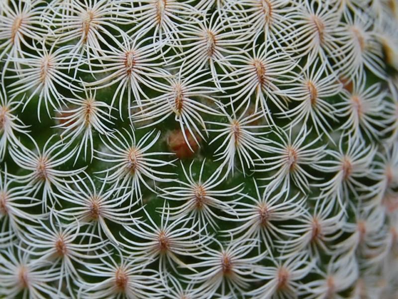 Mammillaria solisioides 2235-210