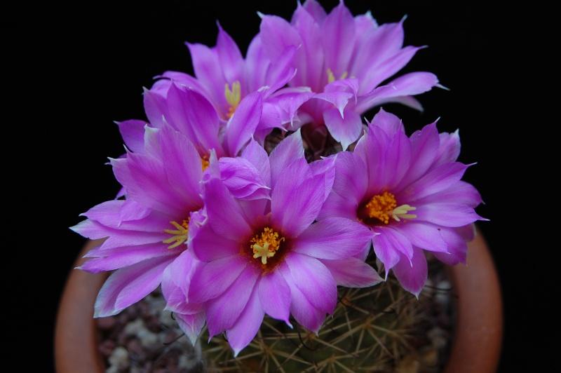 Mammillaria schumannii 2374-210