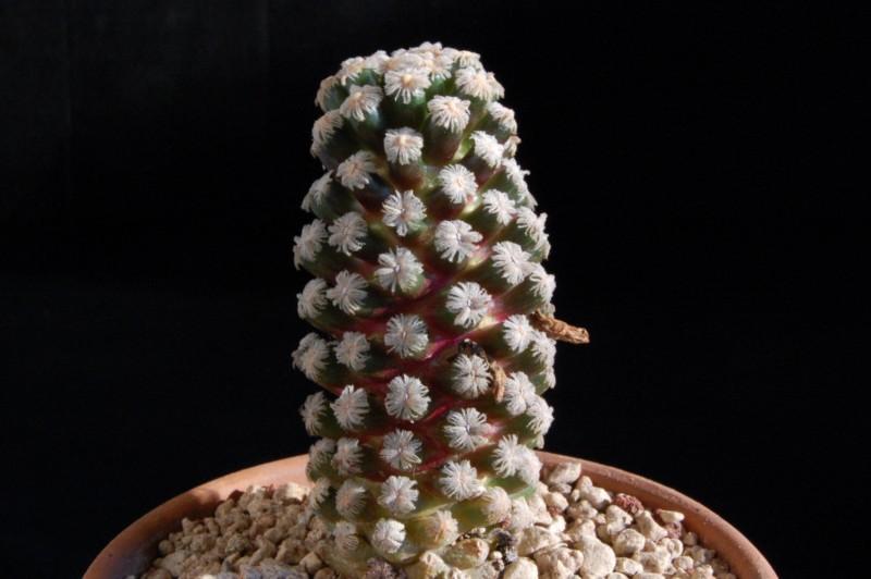 Mammillaria theresae 2464-210